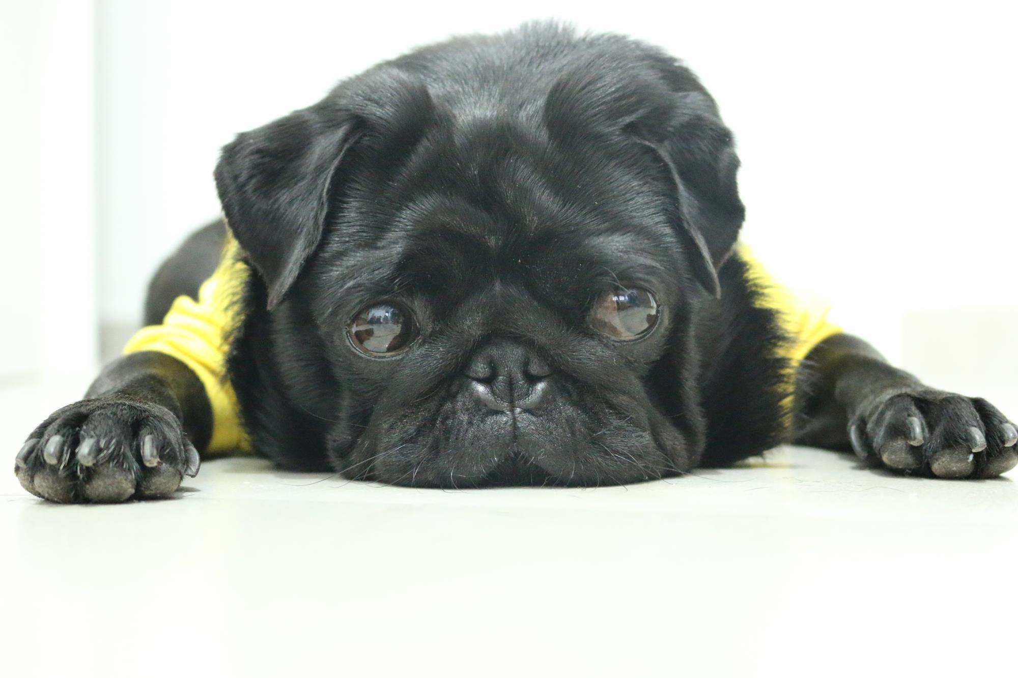 מפגש כלבי פאג סיני אצלנו בסנטר!